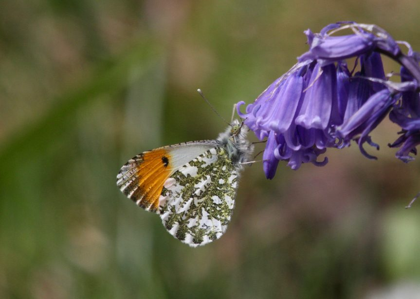 Orange Tip Butterfly – Anthocharis cardamines